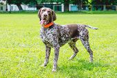 German Shorthaired Dog Is Worth It On The Lawn Grass In The Park poster