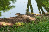 Monitor Lizard (varanus Salvator) In Lumpini Park poster