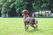 German Shorthaired Dog Is Running On The Lawn Grass In The Park poster