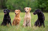 Four Labrador Retriever Dogs On A Spring Meadow poster