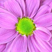 Macro de flor de Dalia rosa con cal verde centro