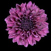 Purple Chrysanthemum Flower Isolated On Black