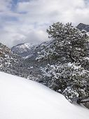 Pinyon Pine In Winter Storm