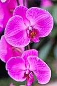The Closeup Of The Phalaenopsis