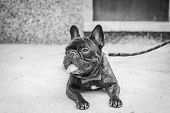 A Black French Bulldog Lies And Has A Lingering Tongue. Pet Dog Cute French Bulldog. poster