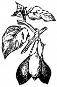 Tamarillo (Cyphomandra betacea)