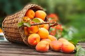 Apricot. Ripe Organic Apricots In Wicker Basket With Leaves On A  Wooden Table Over Green Nature Blu poster