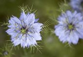 Nigella Damascena Flowers