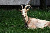 stock photo of polonia  - single goat on polish countryside Masuria region in Poland - JPG