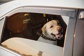 Dog Labrador Retriever Alone Is Locked In Car In Heat, Window Is Open. Concept Wait Travel poster