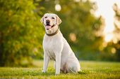 Happy Purebred Labrador Retriever Dog Outdoors Sitting On Grass Park Sunny Summer Day poster