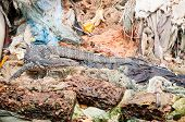 Wild varanus between garbage