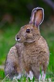 A Snowshoe Hare (lepus Americanus) Sits For A Portrait At Rabbit Blanket Lake, Lake Superior Provinc poster