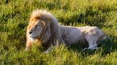 Lion Is Lying On The Grass In Safari Park At Sunset. View To Lonely Relaxing Lion On The Green Meado poster