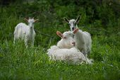 Goats On Family Farm. Herd Of Goats Playing. Family Goats On A Green Meadow. Herd Of Goats poster