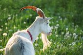 Close Up Of An Inquisitive Goat. Close-up Of A White Goat. Close Up Goat In Farm On Green Grass. Goa poster