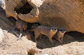 Funny meercats