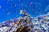 coral reef on the bottom of red sea with hard fire corals and exotic fishes