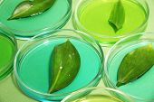 Genetically modified leaves tested in petri dishes, on green background