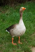 Defensive Graylag Goose Standing Tall In Green Grass