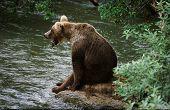 Adult Grizzley bear yawning