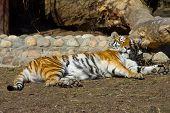 Relajante tigresa de Amur