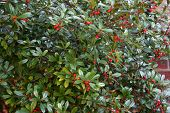 Holly Thicket With Red Berries