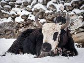 foto of sherpa  - A fluffy yak sitting on the snow at a small Himalayan settlement along Nepal - JPG
