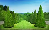 foto of conic  - Green conical hedges lines from Versailles Chateau - JPG
