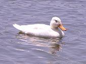 Duck On Pond