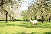 A sheep in the beautiful orchard