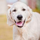 happy golden retriever dog portrait