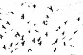 stock photo of raven  - Isolated flock of black crows on white background - JPG