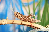 stock photo of cricket insect  - Close up shot of a brown cricket - JPG