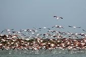 Fllock Of Flamingos,  In Flight.