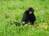 Adult Red-faced Spider Monkey