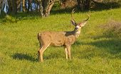 stock photo of black tail deer  - Black - JPG