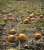 Autumn Pumpkin Patch. A Pumpkin Patch Ready To Be Harvested