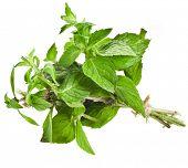 Bunch Oregano or Marjoram Herb (origanum majorana ) isolated on white