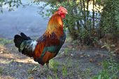 Almost adult miniature size rooster