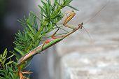Green and Brown Praying Mantis