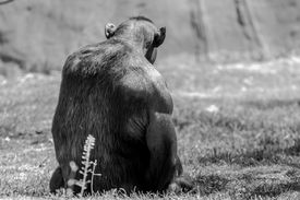 pic of chimp  - A strong male chimp sitting on the grass - JPG