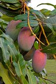 Mango Close Up