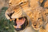stock photo of african lion  - African Lion Mother and Cub close up - JPG