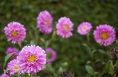 Asters Amidst Greenery
