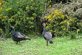 Female and male wild turkeys