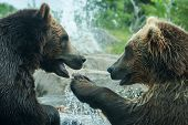 Two Grizzly (brown) Bears Fight Soft Focus