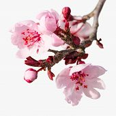 Branch Of Spring Plum Blossom With Pink Flowers And Buds