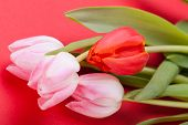 stock photo of dainty  - Symbolic seasonal spring background of dainty pink tulips with fresh green leaves and copyspace with focus to the flowers - JPG
