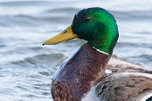 Male Mallard Swimming